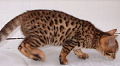 Bengal Kittens and cats for sale in Staffordshire