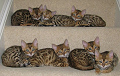 Bengal Cats for sale in Swindon, Wiltshire