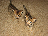 Bengal kittens for sale in Illinois