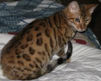 Bengal kittens for sale in California from Heartfelt