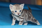 Bengal kittens for sale in Ohio
