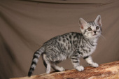 Bengal Kittens for sale in Idaho