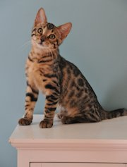 Bengal kittens for sale in Illinois from PurrfectdreamsCattery