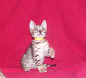 Bengal kittens for sale in Illinois from Warcloudexotics