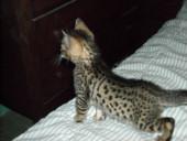 Bengal kitten breeders in ct