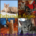 Bengal Kittens and cats for sale in Surrey