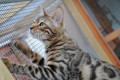 Bengal Kittens and cats for sale in Shropshire