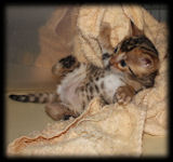 Bengal kittens for sale in Florida from BellArista