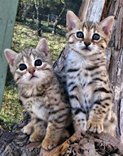 Bengal kittens for sale in California from SolanaRanch